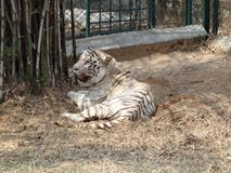 White tiger sleeping under bamboo tree. Stock Photos