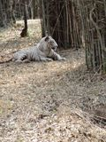 White tiger sleeping under ground a special pose. Royalty Free Stock Photos