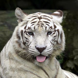 White tiger smiling. And stick out his tongue Stock Photos