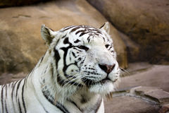 White tiger smiling. Close up stock photos