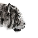 White tiger stalking its pray on a white background . Royalty Free Stock Photography