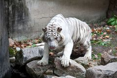 White tiger. The white tiger stands on the stone Royalty Free Stock Image