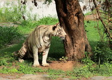 White Tiger staring - Panthera Tigris Tigris. Closeup portrait of White Tiger at Chattbir Zoo Chandigarh India. 100 year ago approximately one Lakh tigers were Stock Image