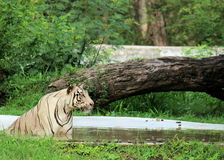 White Tiger staring in water Stock Photography