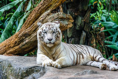 White tiger. Starring tiger at Singapore zoo Royalty Free Stock Photo