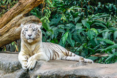 White tiger. Starring tiger at Singapore zoo Royalty Free Stock Image