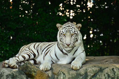 White tiger stay on the rock Royalty Free Stock Photos