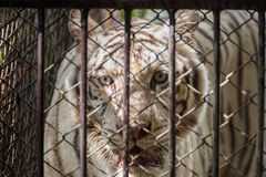 The white tiger in the steel cage. Stock Images