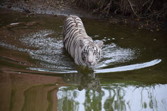 A white tiger strolling Royalty Free Stock Images