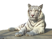 White tiger. The strong white bengal tiger isolated on white background Royalty Free Stock Image