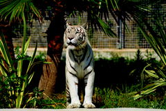 White tiger. Tiger of sumatra portrait zoo of naples royalty free stock photo