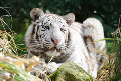 White tiger in sunlight Stock Photos