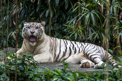 A white tiger surveys the crowd as it relaxes in its' enclosure at the Singapore Zoo in Singapore. Royalty Free Stock Photo