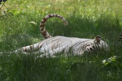 White Tiger Swatting at Flies with His Tail as He Rests royalty free stock photography
