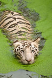 White tiger swimming Stock Images