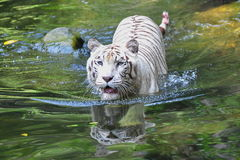 White tiger swimming Stock Photos