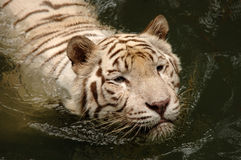 White Tiger Swimming. White Tiger Swims Royalty Free Stock Images