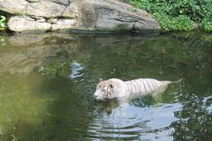 White tiger swimming in lake symbol of success and might. Singapore zoo Royalty Free Stock Image