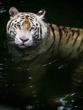White Tiger Swimming. A white tiger swims through dark water Royalty Free Stock Photos