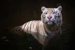 White tiger symbol of  success Stock Photos