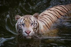 White tiger symbol of  success Royalty Free Stock Photography