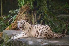 White tiger symbol of  success Stock Photo