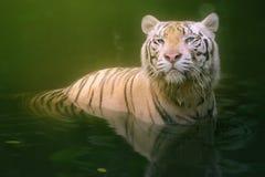 White tiger symbol of  success Stock Image