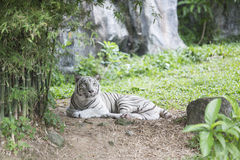 White tiger. Taking a rest in the forest at the moment Royalty Free Stock Photography