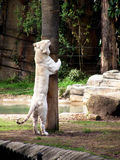 White Tiger and a tree. A white tiger hugging a tree Royalty Free Stock Photography