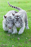 White Tiger. Royalty Free Stock Photography