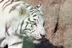 White tiger. View from side. Close up shot.  Stock Photo