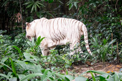 White tiger. Walking away from the camera Royalty Free Stock Image