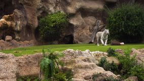 Tiger,Green Garden Background  Stock Video - Video of