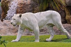 White tiger walking on grass Stock Images