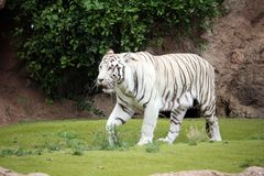 White tiger walking in natural background. White tiger walking in a green natural background Royalty Free Stock Images