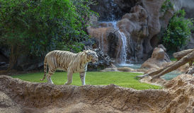 White Tiger Walking Royalty Free Stock Images