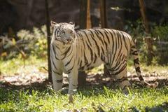 The White Tiger walking Stock Image