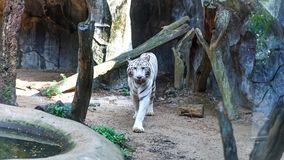 White tiger walking and staring with its green eyes in the Khao Kheow Open Zoo. stock image
