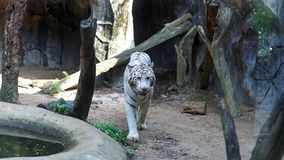 White tiger walking and staring with its green eyes in the Khao Kheow Open Zoo. White tiger walking and staring with its green eyes in the Khao Kheow Open Zoo Royalty Free Stock Photos