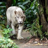 White Tiger. Walking Towards Viewer Stock Images