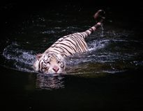 White tiger walking in water Stock Photo