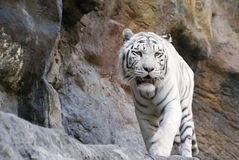 White tiger walking Stock Image