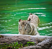 White tiger in the water Stock Photo