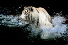White tiger in the water. White tiger playing in the water splashing Stock Photo