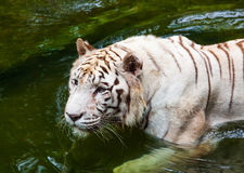 White tiger in water Stock Image