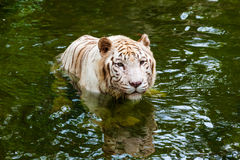 White tiger in water Royalty Free Stock Images