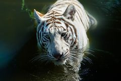 White tiger in water, closeup of head looking directly into the camera. White Bengal tiger Panthera tigris in water. Closeup view of its head; it is looking stock photography