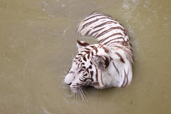 White tiger at the water hole. Image of a white (albino) tiger wading and cooling in a fresh water hole Stock Photo