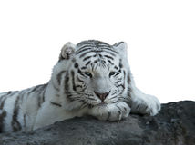 White Tiger watercolor Stock Photography