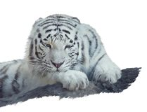 White tiger watercolor. Painting isolated on white background royalty free stock images